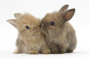 Two Baby Lionhead-Cross Rabbits, Touching Noses by Mark Taylor