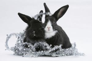 Two Black-And-White Baby Dutch X Lionhead Rabbits with Silver Christmas Tinsel by Mark Taylor