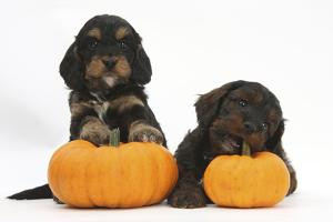 Two Cockerpoo Puppies with Pumpkins by Mark Taylor