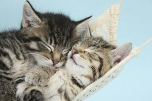 Two Cute Tabby Kittens Asleep in a Hammock by Mark Taylor