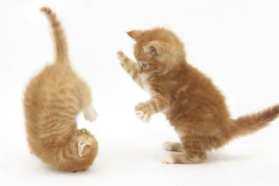 Two Ginger Kittens, 7 Weeks, Play-Fighting by Mark Taylor