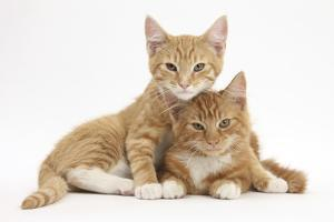 Two Ginger Kittens, Lounging Together by Mark Taylor
