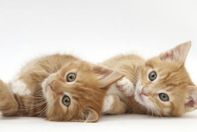 Two Ginger Kittens Lying on their Sides by Mark Taylor