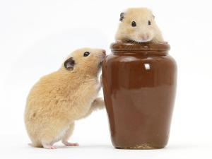 Two Golden Hamsters Playing with a China Pot by Mark Taylor