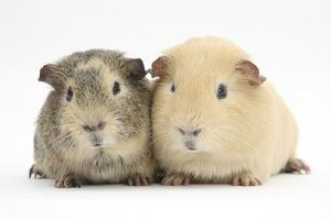 Two Guinea-Pigs by Mark Taylor
