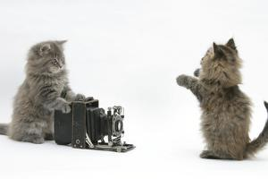 """Two Maine Coon Kittens, 8 Weeks, Playing with a Bellows Camera. One Behind Camera """"Taking Photo"""" by Mark Taylor"""