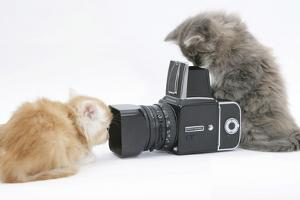 Two Maine Coon Kittens, 8 Weeks, Playing with a Hasselblad Camera by Mark Taylor