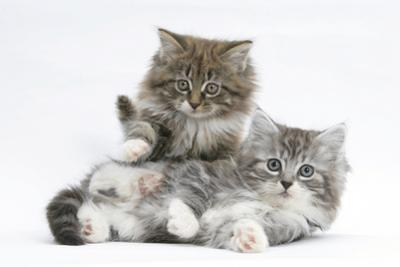 Two Maine Coon Kittens, 8 Weeks by Mark Taylor