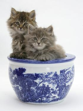 Two Maine Coon Kittens in a Blue China Pot by Mark Taylor
