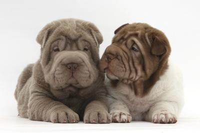 Two Shar Pei Puppies Sitting Side by Side by Mark Taylor