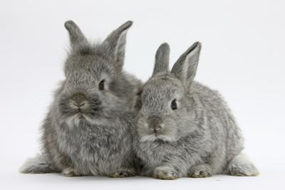 Two Young Domestic Silver Rabbits by Mark Taylor
