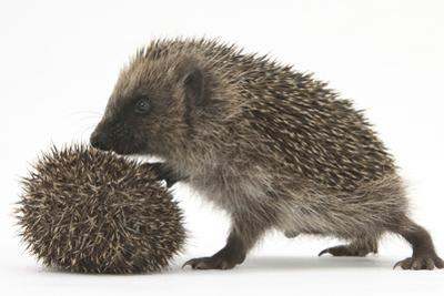 Two Young Hedgehogs (Erinaceus Europaeus) One Standing, One Rolled into a Ball by Mark Taylor