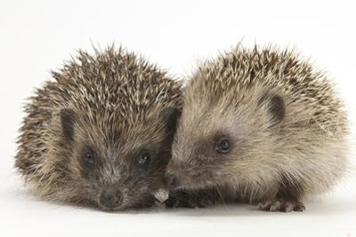 Two Young Hedgehogs (Erinaceus Europaeus) Sitting Together by Mark Taylor