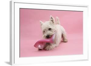 West Highland White Terrier Biting a Pink Boot Against a Pink Background by Mark Taylor