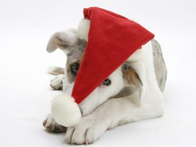 White-And-Merle Border Collie-Cross Puppy, Ice, 14 Weeks, Wearing a Father Christmas Hat by Mark Taylor