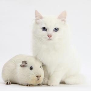 White Main Coon-Cross Kitten with White Guinea Pig by Mark Taylor