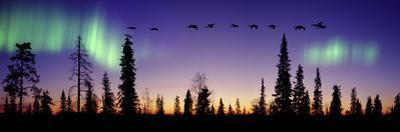 Whooper Swans (Cygnus Cygnus) Flying Against Aurora Borealis at Sunrise. Finland by Mark Taylor
