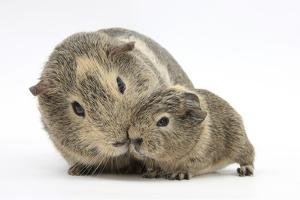 Yellow-Agouti Adult and Baby Guinea Pigs by Mark Taylor