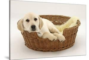 Yellow Labrador Pup, 4 Months Old, Lying in a Wicker Basket Dog Bed by Mark Taylor