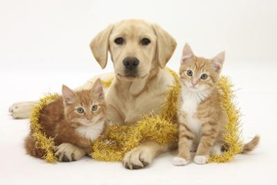 Yellow Labrador Puppy with Two Ginger Kittens with Tinsel by Mark Taylor
