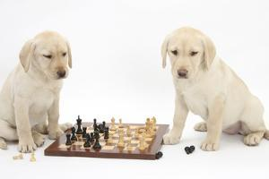 Yellow Labrador Retriever Bitch Puppies, 10 Weeks, Playing Chess by Mark Taylor