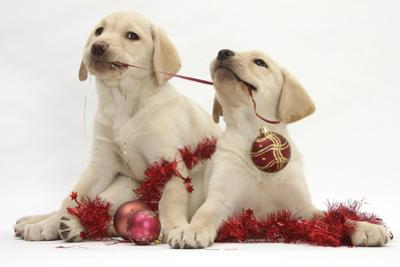 Yellow Labrador Retriever Bitch Puppies, 10 Weeks, Playing with Christmas Decorations by Mark Taylor