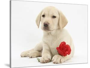 Yellow Labrador Retriever Bitch Puppy, 10 Weeks, Lying with a Red Rose by Mark Taylor