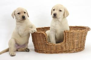 Yellow Labrador Retriever Puppies, 7 Weeks, in a Wicker Dog Basket by Mark Taylor