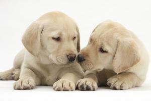 Yellow Labrador Retriever Puppies, 8 Weeks by Mark Taylor