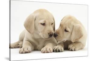 Yellow Labrador Retriever Puppies, 8 Weeks by Mark Taylor