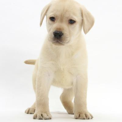 Yellow Labrador Retriever Puppy, 7 Weeks by Mark Taylor