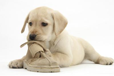 Yellow Labrador Retriever Puppy, 8 Weeks, Chewing a Child's Shoe
