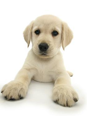Yellow Labrador Retriever Puppy, 8 Weeks, Lying with Head Up by Mark Taylor