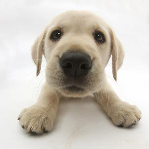 Yellow Labrador Retriever Puppy, 8 Weeks Old, Lying with Head Up by Mark Taylor