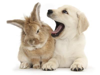 Yellow Labrador Retriever Puppy, 8 Weeks, Yawning in Lionhead Cross Rabbit's Ear by Mark Taylor