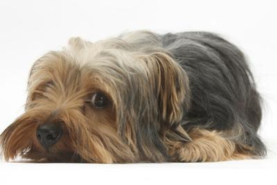 Yorkshire Terrier, Lying with Chin on the Floor by Mark Taylor