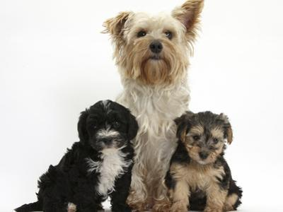 Yorkshire Terrier Mother, Evie, and Yorkipoo Pups, 7 Weeks Old by Mark Taylor