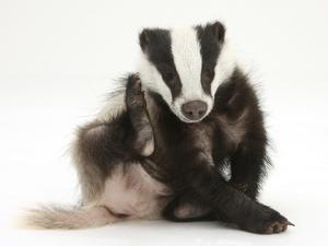 Young Badger (Meles Meles) Scratching Himself by Mark Taylor