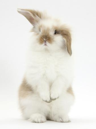 Young Fluffy Rabbit Standing Up by Mark Taylor