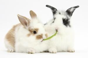 Young Rabbits Sharing a Blade of Grass by Mark Taylor