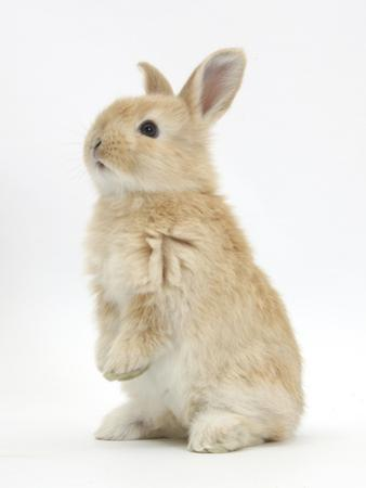 Young Sandy Rabbit Standing Up on its Haunches by Mark Taylor