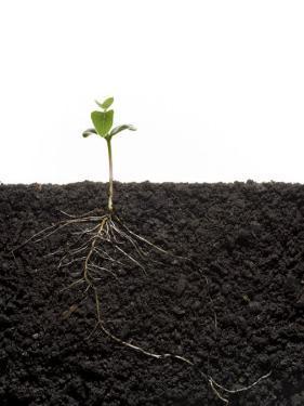 Cross-Section of Soybean Seedling in Soil by Mark Thiessen