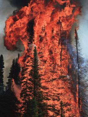 Flames hurtle through a thick stand of sub-alpine firs near Warm Lake by Mark Thiessen