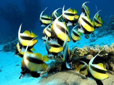 Banner Fish, St. Johns Reef, Red Sea by Mark Webster