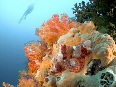 Bearded Scorpion Fish on Coral, Indonesia