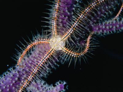 Brittle Star on a Gorgonian, Belize, Belize by Mark Webster