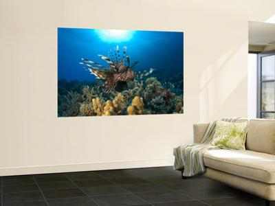 Lion Fish over Reef, Abu Galowa Reef, Fury Shoal, Red Sea by Mark Webster