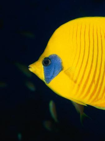 Masked Butterflyfish at Alternatives Reef in the Red Sea, Suez, Egypt by Mark Webster