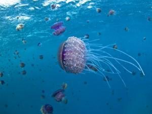 Purple Ocean Jelly Fish, Ras Banas, Red Sea by Mark Webster