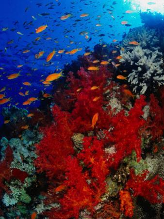 School of Anthias Near Red Soft Coral on Abu Nuhas Reef in Red Sea, Suez, Egypt